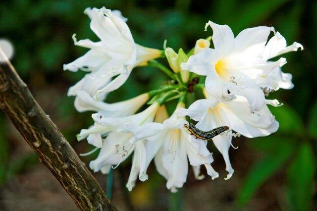 7 Amaryllis Clivea caterpiller on amaryllis FNL1
