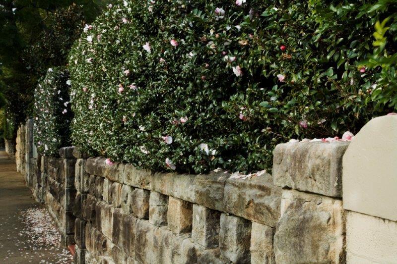 1-Camellia  Beatrice Emily  hedge